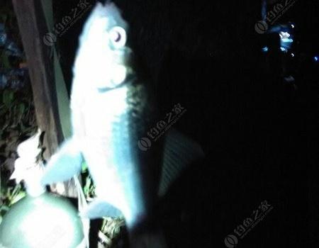 长江分水渠苦心夜钓,耐心等候终上两尾鲤鱼 自制饵料钓青鱼