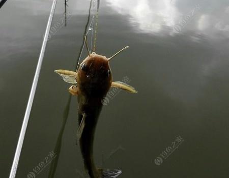黃岡野塘釣鳊