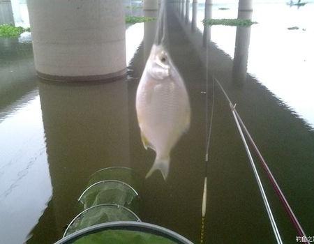 早钓洞庭湖大桥(19) 钓鱼之家饵料钓鲫鱼