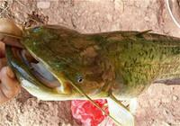 夜钓鲶鱼技巧与该用什么饵?