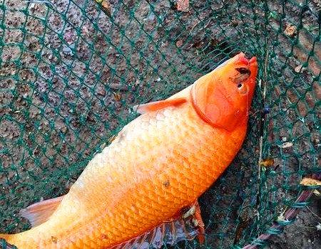 巴掌大的罗非鱼,明星妹妹,漂亮的鲤鱼。 钓鱼王饵料钓罗非鱼