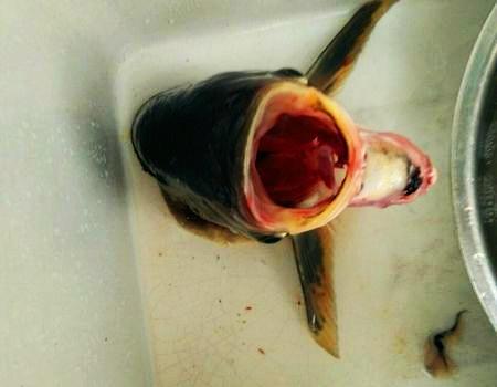 本来想钓钓小鲫鱼,却有意外收获 化氏饵料钓鳊鱼