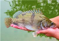 根据鳜鱼的习性灵活调整钓法的经验