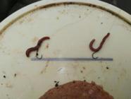 老钓友分享蚯蚓饵的使用方法