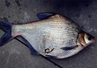 秋季不同水情下钓鳊鱼饵料小药选择技巧
