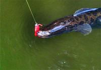 野钓黑鱼的时间选择与用饵要领