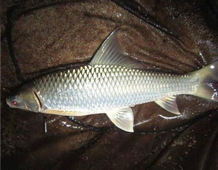 夏季雨天仙女湖手竿收获草鱼、鲮鱼、罗非