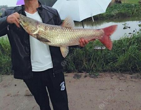 十一假期,雨蒙蒙但有好心情,野釣戰大物…… 自制餌料釣草魚