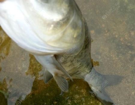 國慶嗨釣(大麻捅了鰱鳙窩) 釣魚之家餌料釣翹嘴