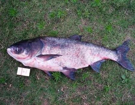 再釣故縣水庫,圓我大魚夢。 自制餌料釣鰱鳙魚