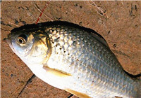 深秋野钓常用到的鲫鱼饵配方