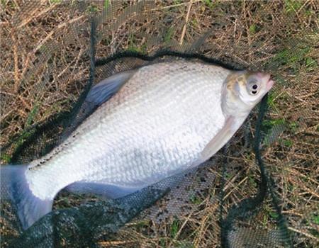 大风低温雨绵绵  冒雨转战黑坑塘 钓鱼之家饵料钓鳊鱼