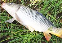 秋季钓鲤鱼该怎样配饵?