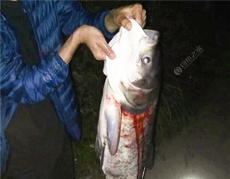 大头,头大?什么样的才算大头? 自制饵料钓鲮鱼