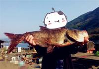 秋钓鲢鳙钓组与饵料配置方法