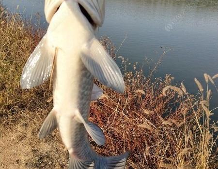 菜鳥出征,寸草不生。一入釣坑深似海。 釣魚之家餌料釣青魚