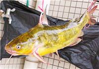从生活习性探讨钓黄颡鱼的技巧