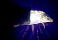 钓野生鲤鱼用什么状态的饵料