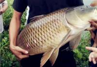 库钓鲤、草鱼用得到的诱饵窝料