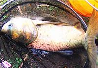 浅谈鲢鳙鱼饵配方的状态与用法