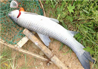青鱼的特点与作钓、选饵技巧