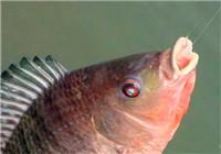 钓友多年钓罗非鱼的经验与技巧分享续