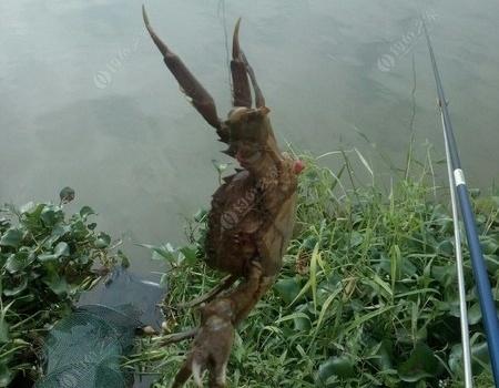 河流收获螃蟹惊喜总结 龙王恨饵料钓鲶鱼