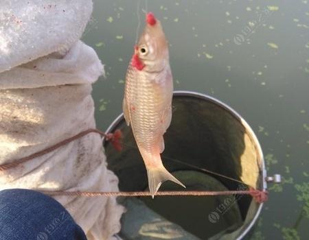 冬天鱼真的不吃饵料吗? 老鬼饵料钓鲤鱼