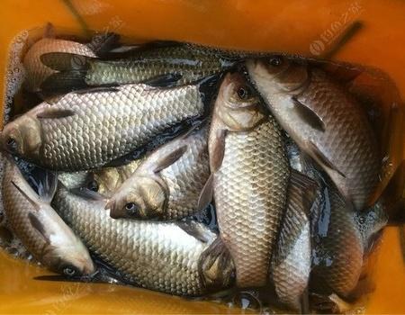 又是幸福水庫 蚯蚓餌料釣鯽魚