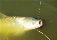 冬季钓草鱼怎样选位有什么技巧?