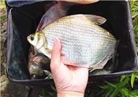 野钓鳊鱼选位选饵与作钓技巧