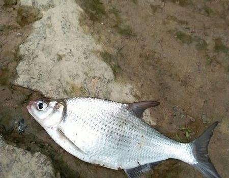 东江不冷,鳊鱼逞能。 龙王恨饵料钓鳊鱼