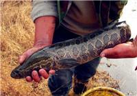 野钓妙手分享黑鱼的生活习性与垂钓技巧