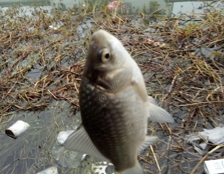 獨釣雨中,風雨無阻! 紅蟲餌料釣鯽魚