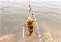 浅谈钓黄颡鱼的几个简单技巧