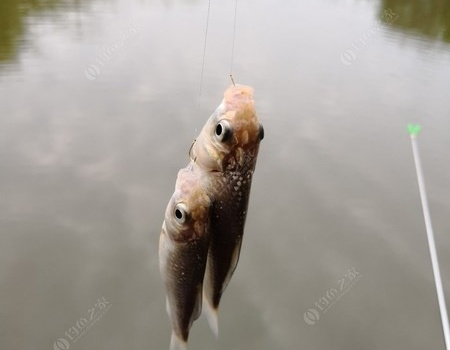 大丰收,一天上鱼50斤 自制饵料钓鳊鱼