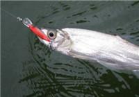 常見攻擊性淡水魚的生活習性
