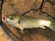别天天就会钓诚博国际,只要会做这款饵料,必上草鱼和鲤鱼!