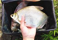钓鳊鱼选什么时间与用饵思路
