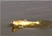 草鱼钓饵配置与钓位选择技巧