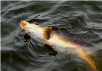 造成跑鱼的九种原因与防止脱钩技巧