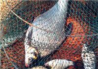 湖库钓鳊鱼实战饵料搭配与打窝技巧分享