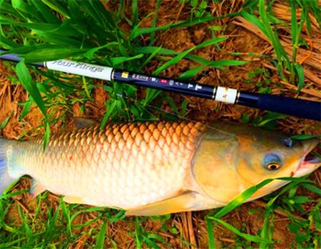 高手分享如何用手竿在湖中钓草青鲢鳙技巧