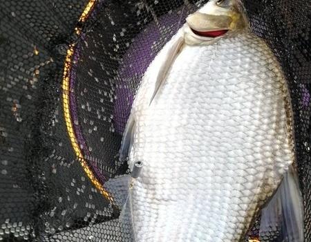 烏江支流小南江歸來收獲有史以來最大板鯽