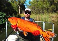 垂钓渔获图片精选 澳洲野河金鱼泛滥