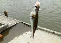野外垂釣翹嘴白條魚餌選擇技巧