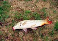 老钓友分享钓鲤鱼心得,野外作钓鲤鱼不在困难!