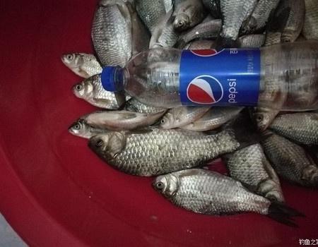 好久沒發魚獲了,這幾次一下全發了吧! 蚯蚓餌料釣鯽魚