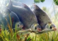 钓鳊鱼时选用什么渔具以及饵料?