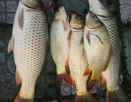 廢棄魚塘尋得目標魚,扁魚紅燒好吃。 釣魚之家餌料釣鯽魚